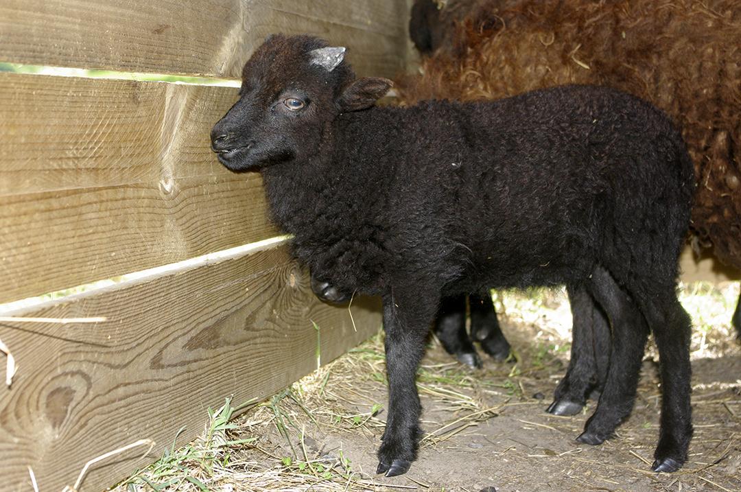 Ferme de Julie, élevage de moutons d'Ouessant, moutons d'Ouessant, moutons miniatures